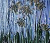 Not Titled - Queen Ann's Lace - Andrea Brand Art - August 2012